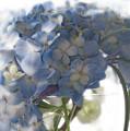 Blue Hydrangea  by Wendy Fike