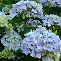 Blue Hydrangeas Art Prints Hydrangea Flowers Giclee Baslee Troutman by Baslee Troutman