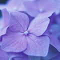 Blue Hydrangeas by Kathy Yates