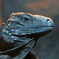 Blue Iguana by Debi Dalio
