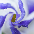 Blue Inspiration. Lisianthus Flower Macro by Jenny Rainbow