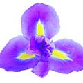 Blue Iris Flower by Anastasy Yarmolovich
