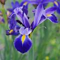 Blue Iris Flower by Susanne Van Hulst