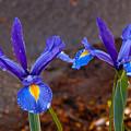 Blue Iris Germanica by Emerald Studio Photography