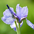 Blue Iris Germanica by Frank Tschakert