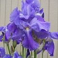 Blue Iris by Laurie Kidd