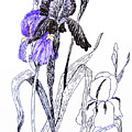 Blue Iris by Marilyn Smith
