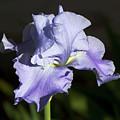 Blue Iris by Phyllis Denton