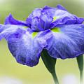 Blue Iris by Venetia Featherstone-Witty