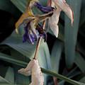Blue Irises Past Their Prime by David Eisenberg