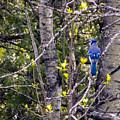 Blue Jay 2 by William Tasker