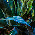 Blue Jay Agave by Ken Dugan