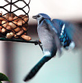 Blue Jay On Lunch Hour by Patricia Youngquist