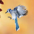 Blue Jay Beauty by Peg Runyan
