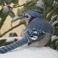 Blue Jay Beauty by Tammy Finnegan