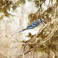 Blue Jay by Cassie Peters