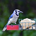 Blue Jay - Cyanocitta Cristata  by Bill And Deb Hayes