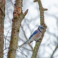 Blue Jay by David Arment