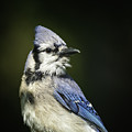 Blue Jay by David Waldrop