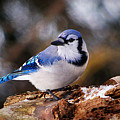 Blue Jay Day by Arthur Miller