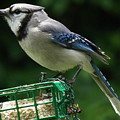 Blue Jay Day by Earl Williams Jr