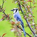 Blue Jay by Deborah Benoit