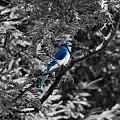 Blue Jay by September  Stone