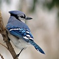Blue Jay by Gaby Swanson