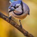 Blue Jay In Golden Light by Rikk Flohr