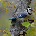 Blue Jay In Red Bud by Todd Hostetter