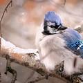 Blue Jay In Winter by Heather Hubbard