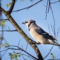 Blue Jay by John Benedict