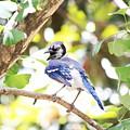 Blue Jay by Kyle Ferguson