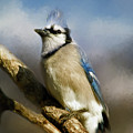 Blue Jay by Lana Trussell