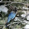 Blue Jay by Lisa Spero
