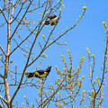 Blue Jay Mobbing A Crow by Steve Harrington