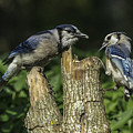 Blue Jay Pair by David Waldrop