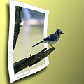 Blue Jay Perched by Brian Wallace
