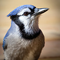 Blue Jay Portrait by Al  Mueller