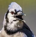 Blue Jay Portrait by John Radosevich