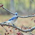 Blue Jay Poses In Crab Apple Tree by Lena Hatch
