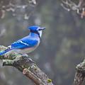 Blue Jay Song by Anita Hubbard