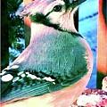 Blue Jay by Susan Carella