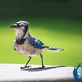 Blue Jay Walk by James Hennis