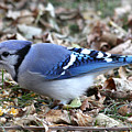 Blue Jay With A Full Mouth by Lori Tordsen