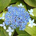 Blue Lacecap Hydrangeas by Kume Bryant