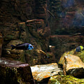 Blue Little Fish In Aquarium by Arletta Cwalina