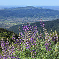 D3b6377-blue Lupine And Kenwood  by Ed  Cooper Photography