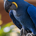 Blue Macaw by Mark Myhaver