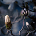 Blue Magnolia by Joe Mamer